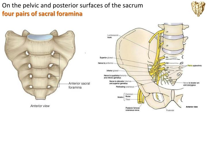 On the pelvic and posterior surfaces of the
