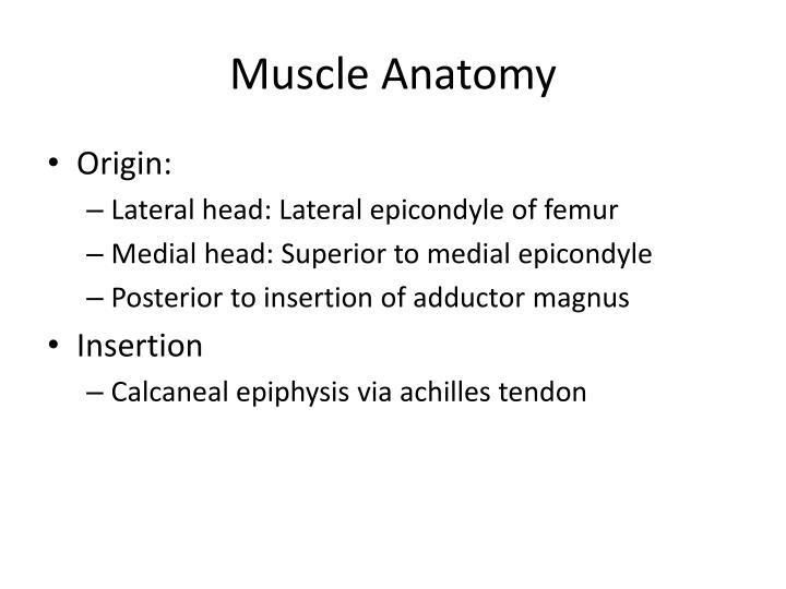 Muscle Anatomy
