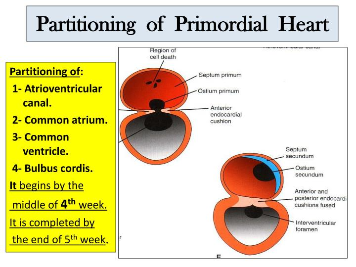 Partitioning  of  Primordial  Heart