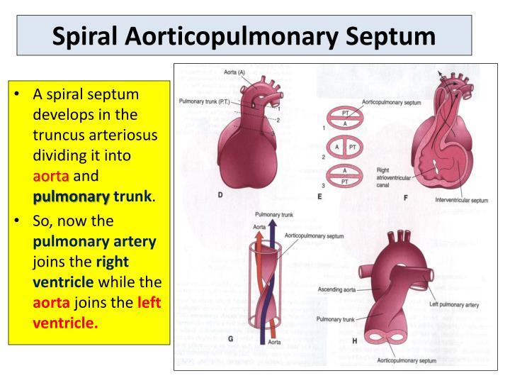 Spiral Aorticopulmonary Septum