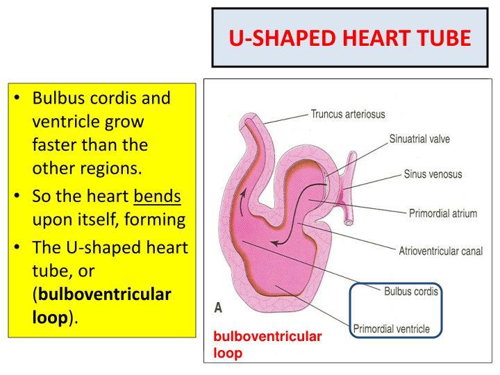 U-SHAPED HEART TUBE