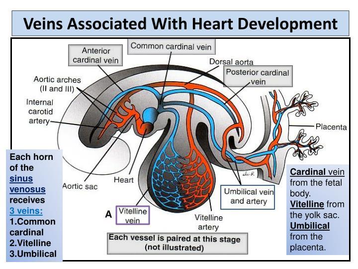Veins Associated With Heart Development