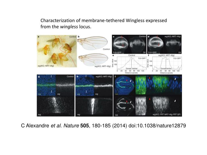 Characterization of membrane-tethered Wingless expressed