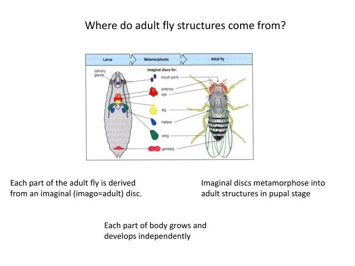 Where do adult fly structures come from?