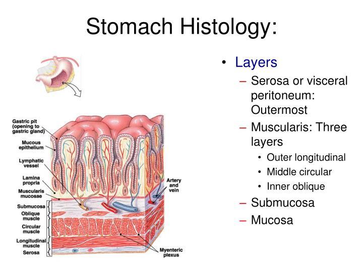 Stomach Histology: