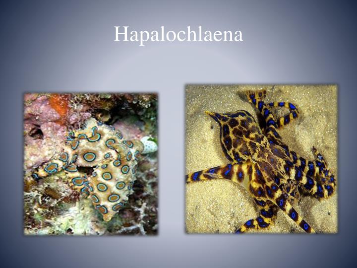Hapalochlaena