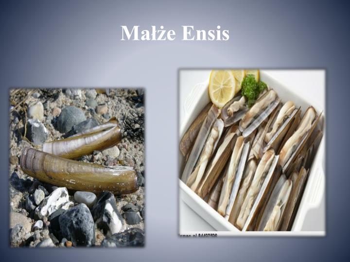 Małże Ensis