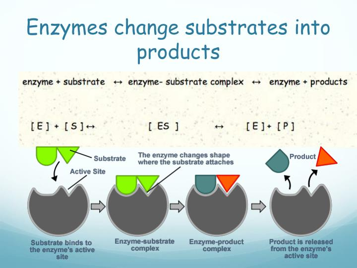 Enzymes change substrates into products