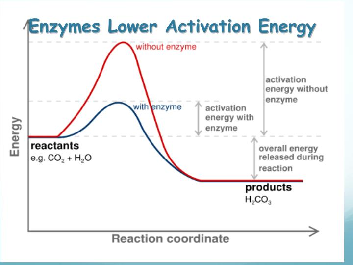 Enzymes lower activation energy