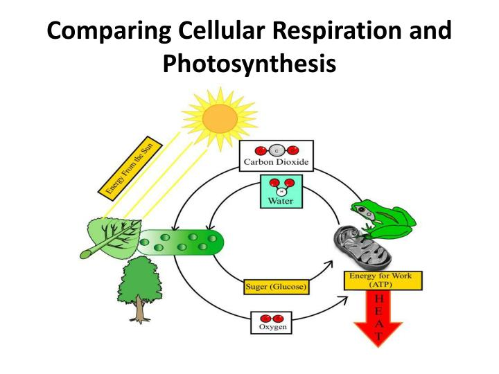 Comparing Cellular Respiration and Photosynthesis