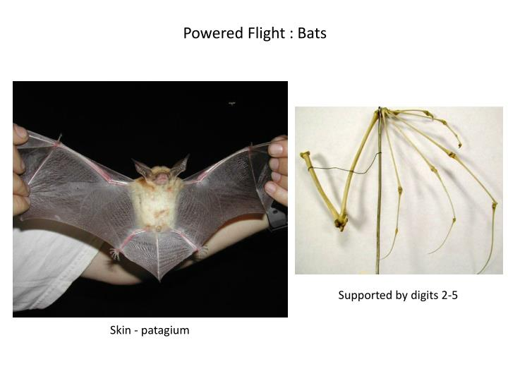 Powered Flight : Bats