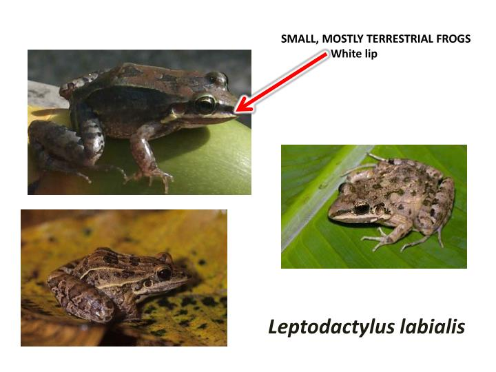 SMALL, MOSTLY TERRESTRIAL FROGS