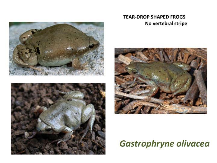 TEAR-DROP SHAPED FROGS