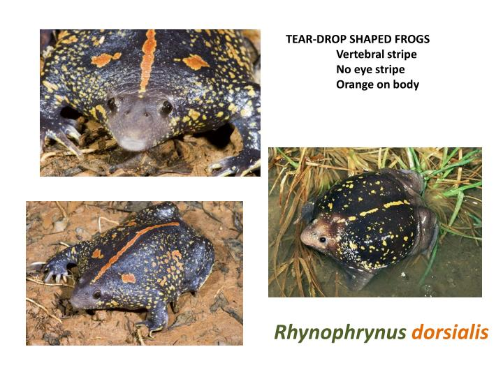 TEAR-DROP SHAPED FROGS