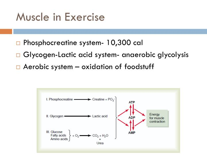 Muscle in Exercise
