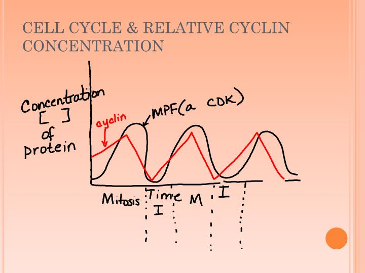 CELL CYCLE & RELATIVE CYCLIN CONCENTRATION