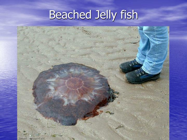 Beached Jelly fish