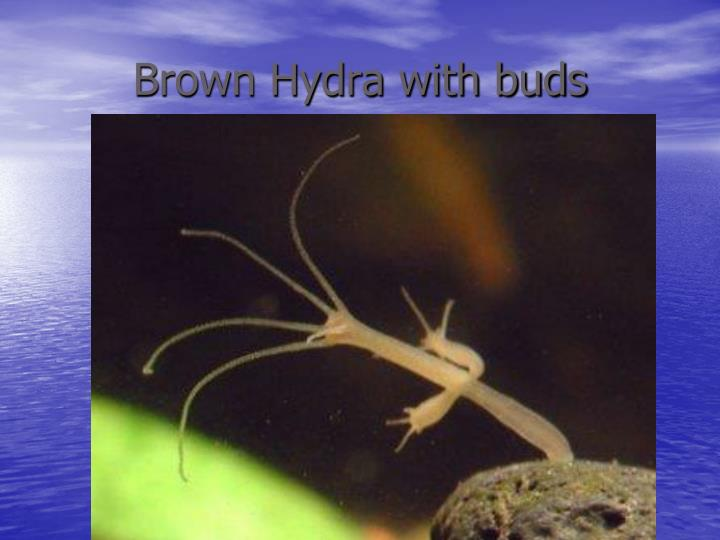 Brown Hydra with buds