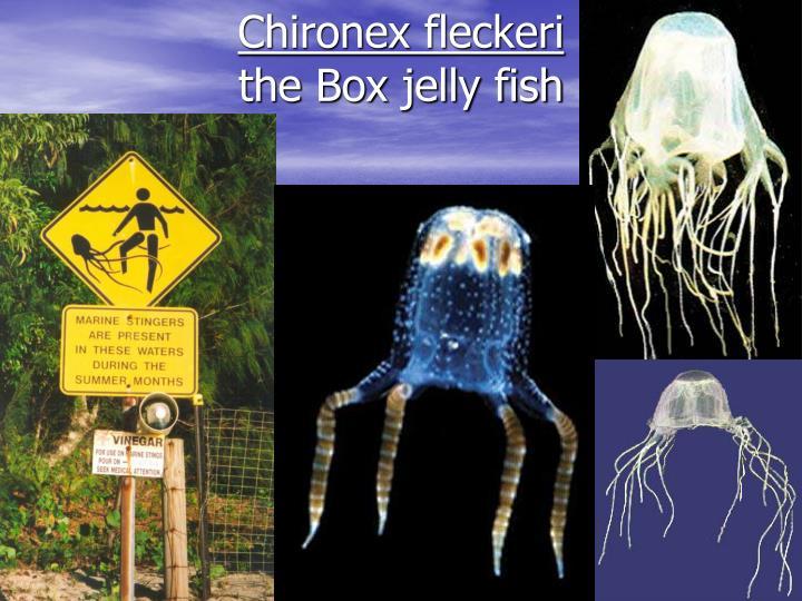 Chironex fleckeri