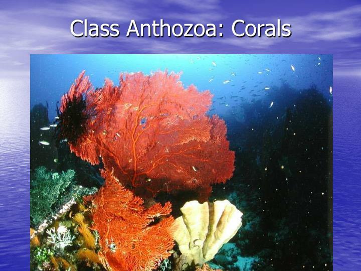 Class Anthozoa: Corals