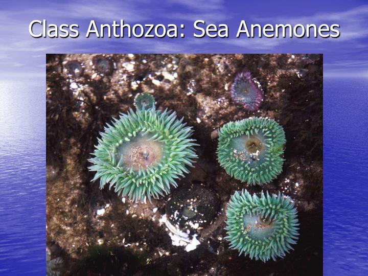 Class Anthozoa: Sea Anemones