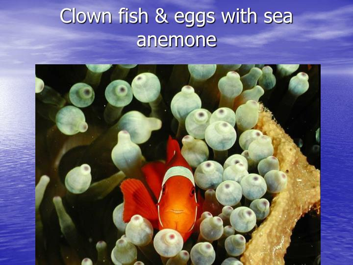 Clown fish & eggs with sea anemone