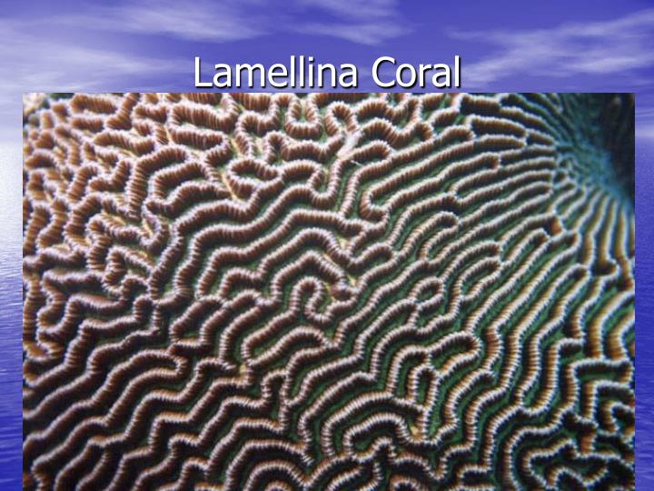 Lamellina Coral
