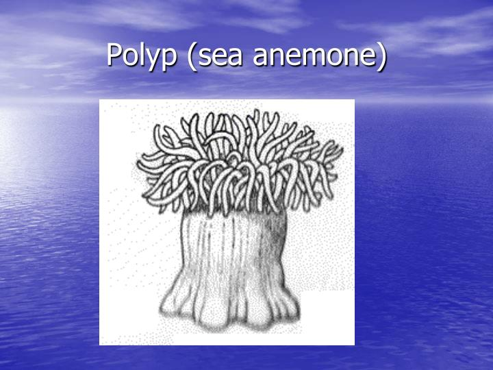 Polyp (sea anemone)
