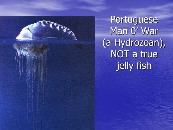 Portuguese Man 0' War