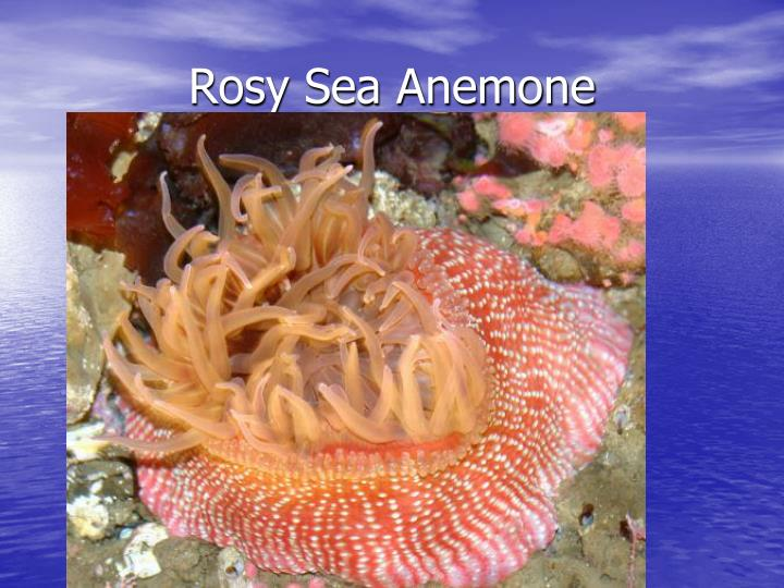 Rosy Sea Anemone