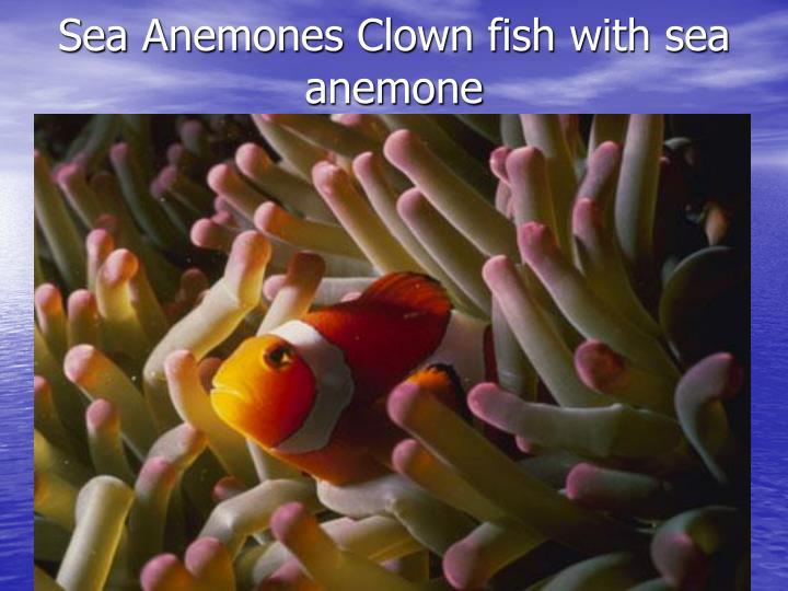 Sea Anemones Clown fish with sea anemone