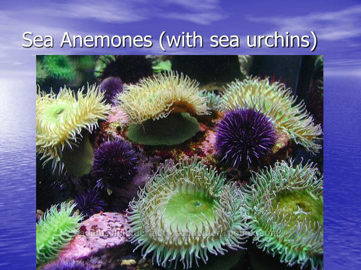 Sea Anemones (with sea urchins)