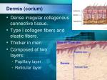 dermis corium