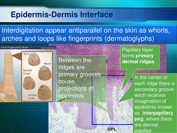 Epidermis-Dermis Interface