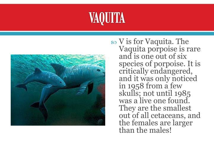 Vaquita porpoise endangered