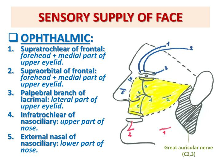 SENSORY SUPPLY OF FACE