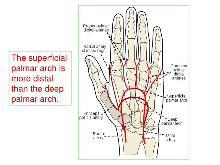 Index finger anatomy 2637722 - follow4more.info