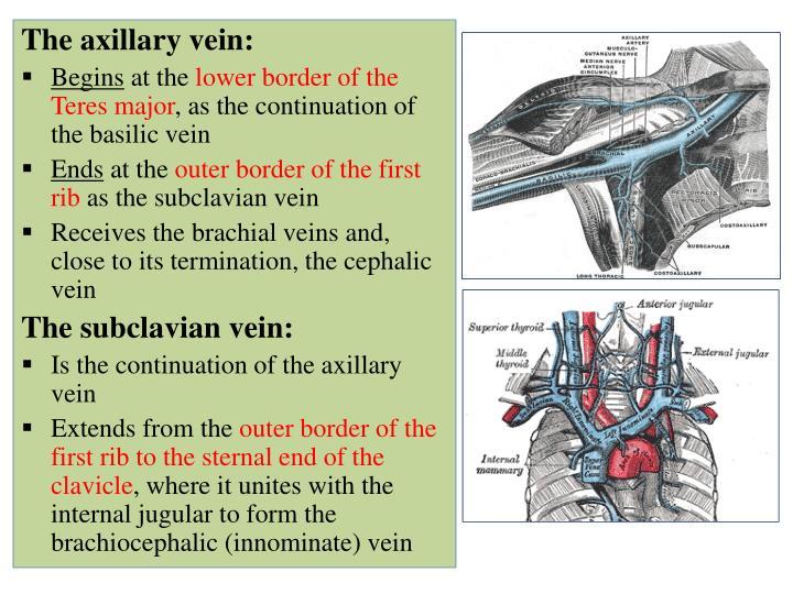 ppt - vascular anatomy of the upper limb powerpoint presentation, Human Body
