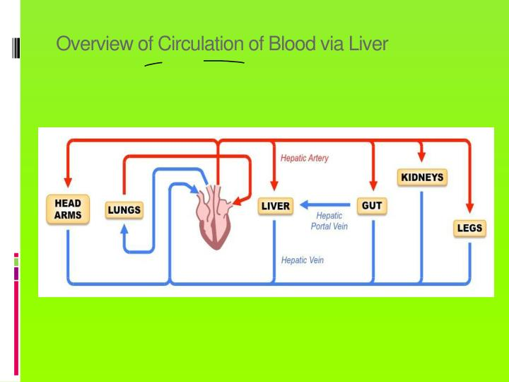 Overview of Circulation of Blood via Liver