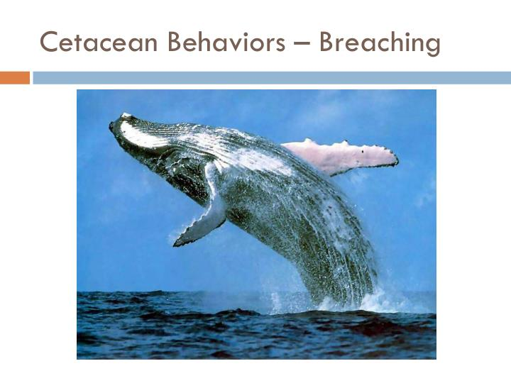 Cetacean Behaviors – Breaching