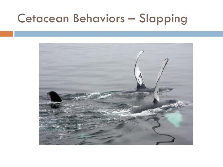 Cetacean Behaviors – Slapping