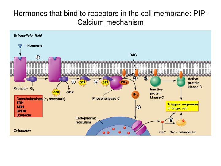 Hormones that bind to receptors in the cell membrane: PIP-Calcium mechanism