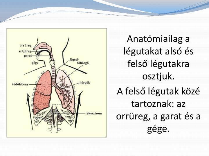 Anatómiailag a légutakat alsó és felső légutakra osztjuk.