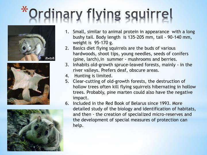 Ordinary flying squirrel