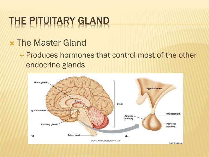What is the master gland