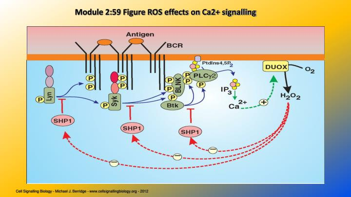 Module 2:59 Figure ROS effects on Ca2+ signalling