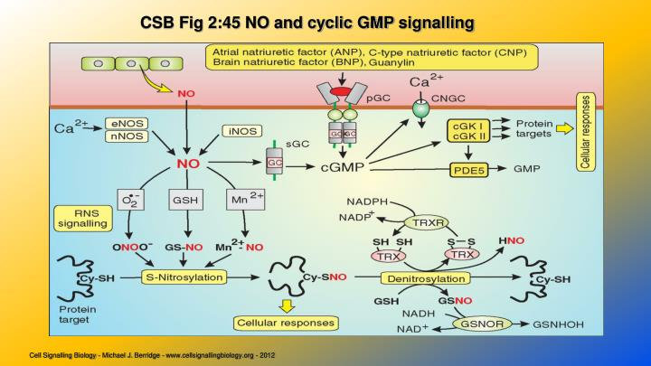 CSB Fig 2:45 NO and cyclic GMP
