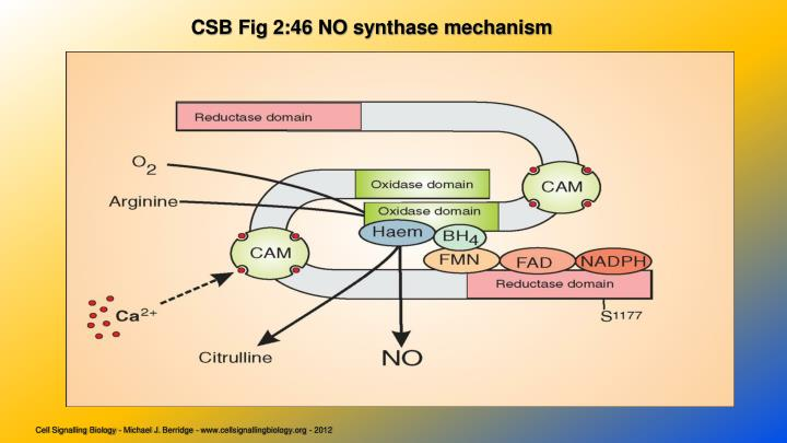 CSB Fig 2:46 NO synthase mechanism