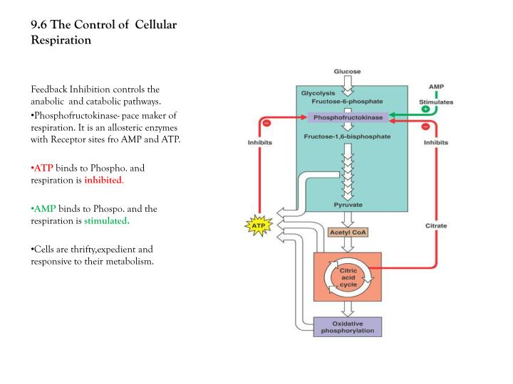 9.6 The Control of  Cellular Respiration