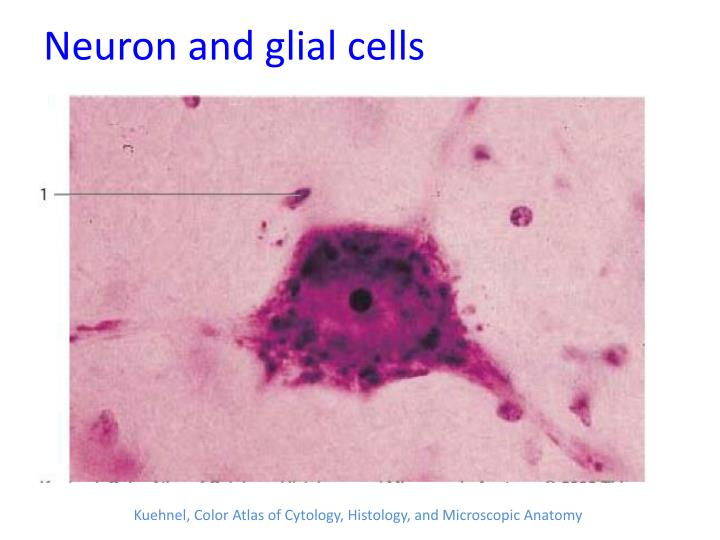Neuron and glial cells